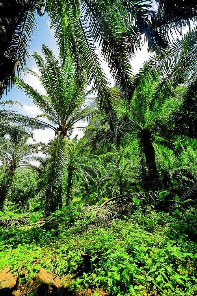 Oil palms plantation