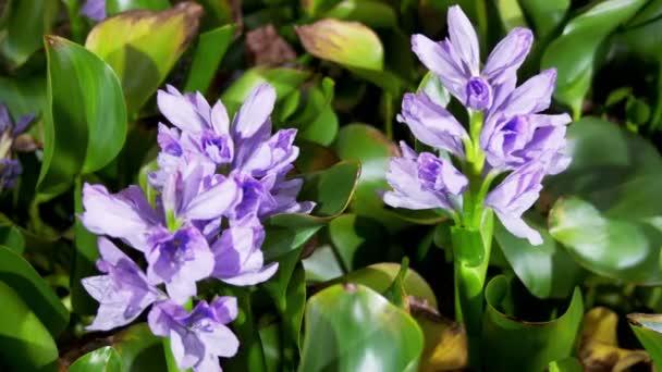 Blooming water hyacinth flowers