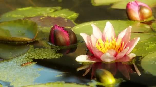Víz liliom virágok megnyitója