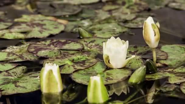Otevření květiny Vodní lilie