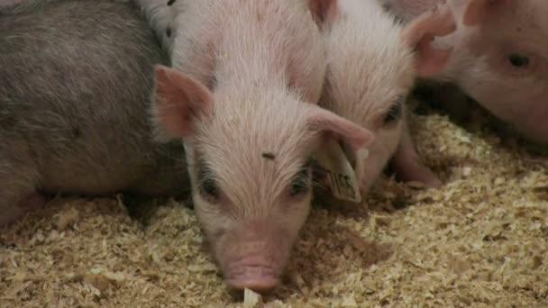 Schweine auf Tierhaltungsbetrieb
