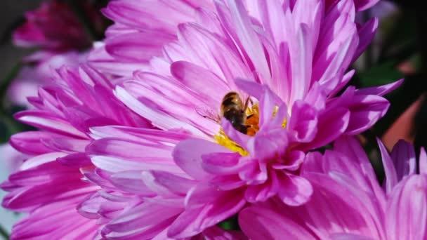bee pollinating pink chrysanthemum