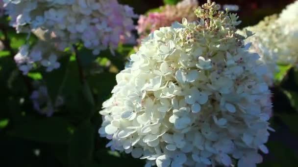 bílá hydrangea květiny