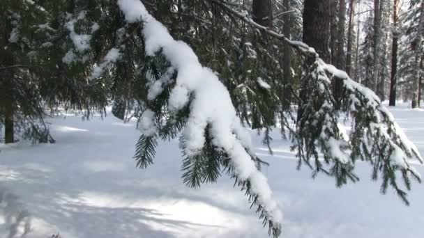 Winter forest, snow-covered fir branch
