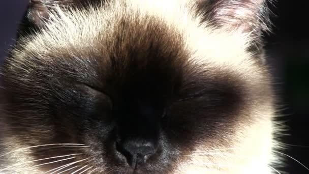 Kot Syjamski Ziewanie