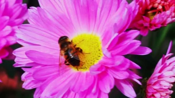 méh beporzó rózsaszín krizantém