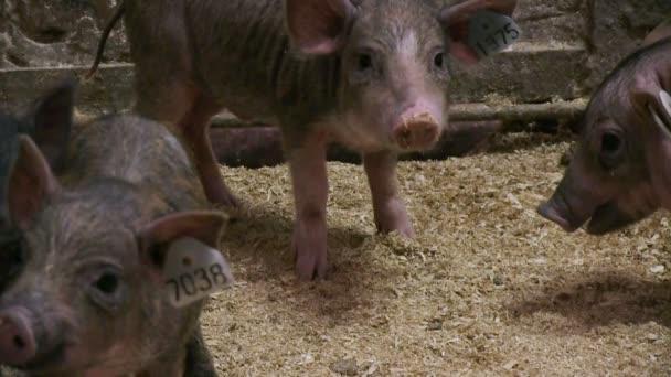 Prasata na farmě zvířat
