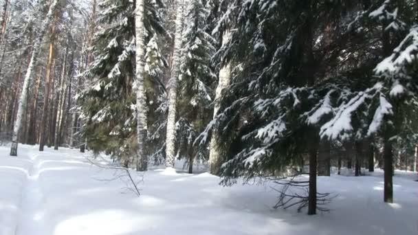 Zimní Les, sněhem pokrytých jedle