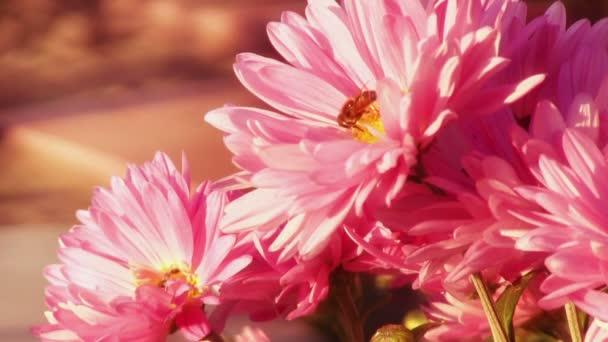 Légy a rózsaszín krizantém