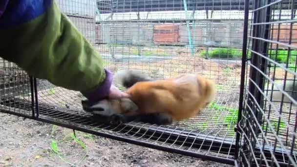umano che gioca con il giovane volpe