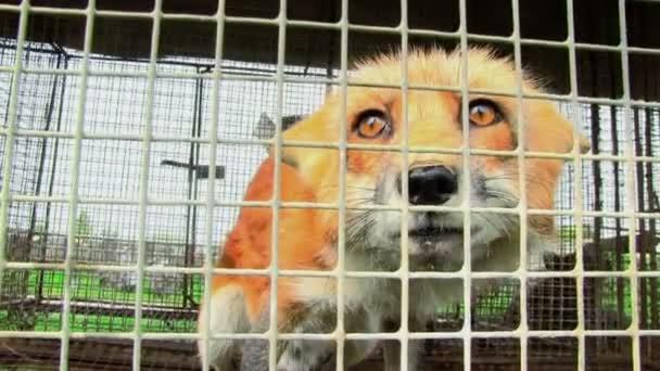 Mladí liška v kleci