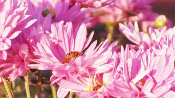 chryzantéma růžová zahrada