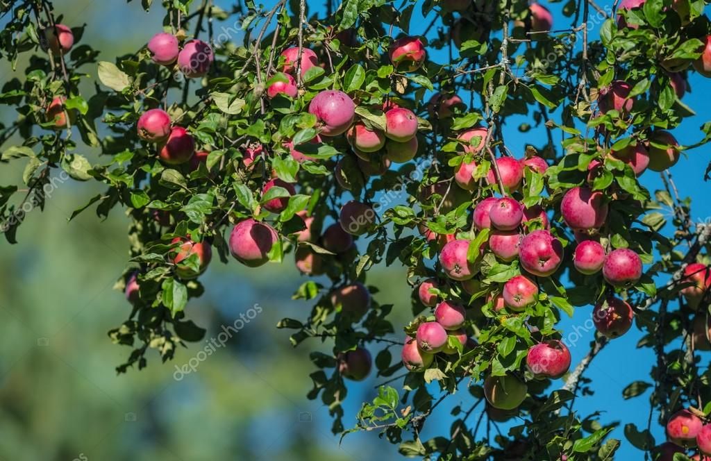Red apples on apple tree branch in the garden