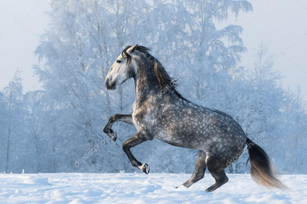 Purebred horse prancing on winter meadow