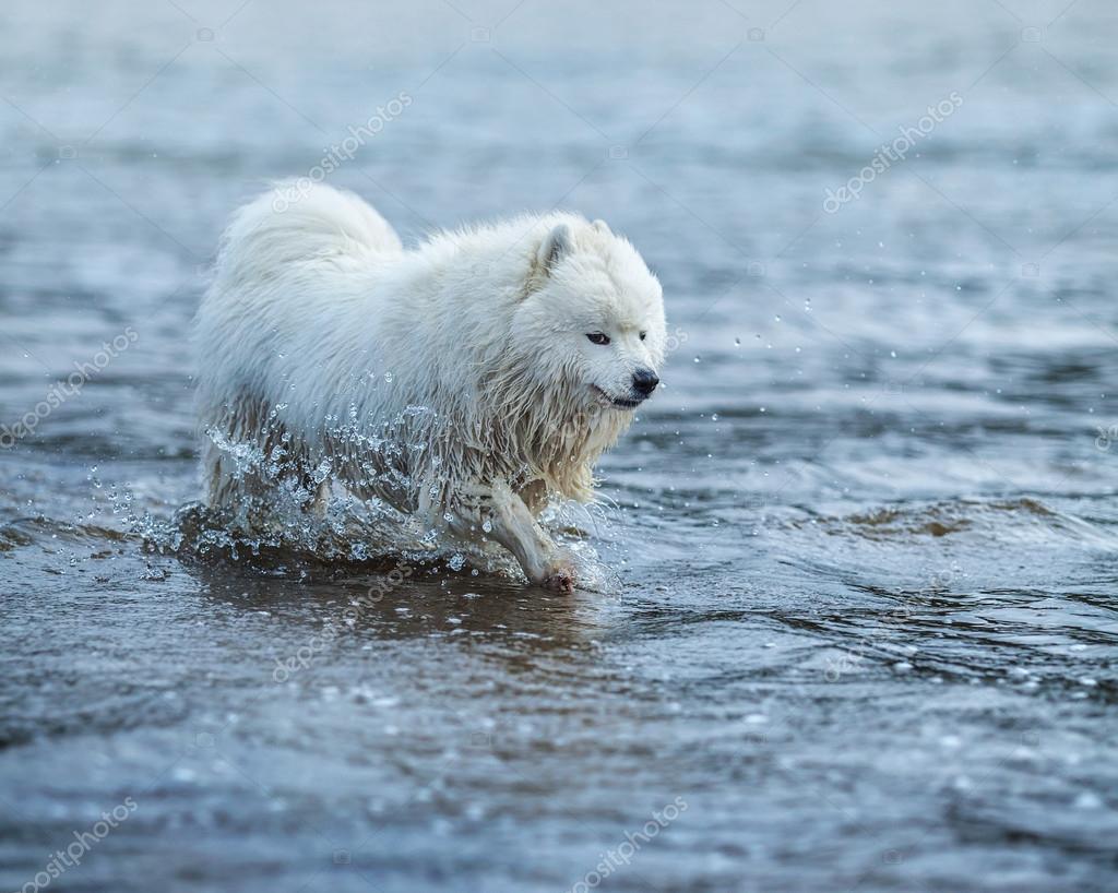 Samoyed dog wading through the water.