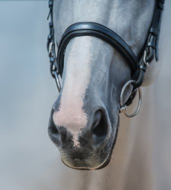 Muzzle of grey stallion with white mark close up