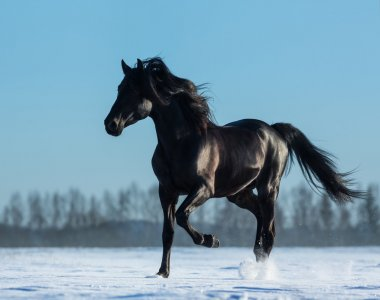 Pure Bred Spanish black stallion trotting on snow meadow