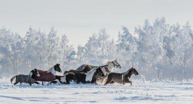 Herd of ponies and miniature horses on snowfield