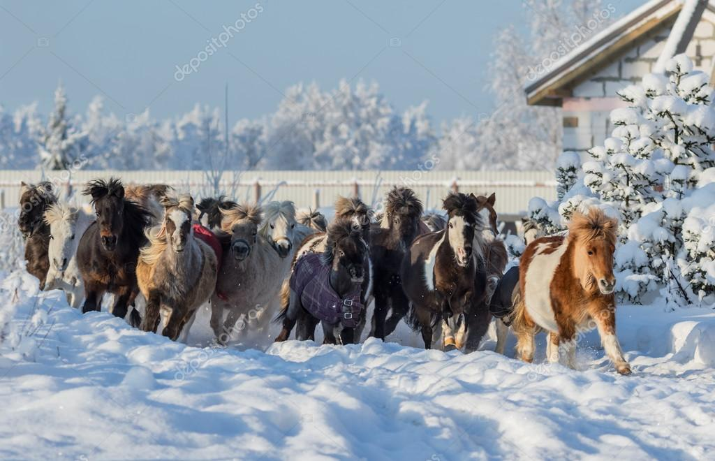 Group of miniature horses galloping on walk
