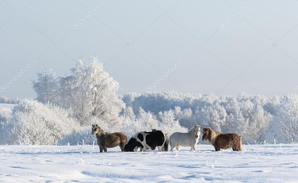 Winter landscape and four ponies