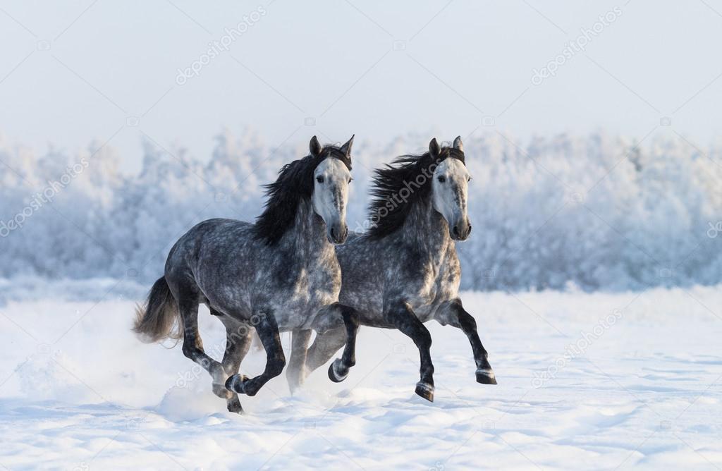 cheval espagnol galop