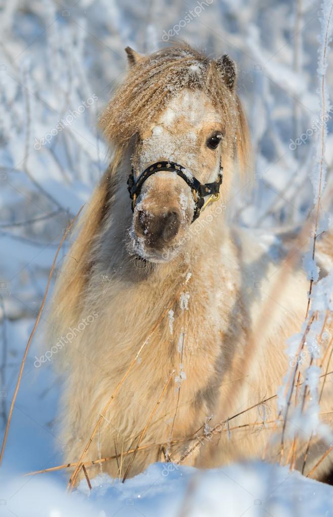 American miniature mare
