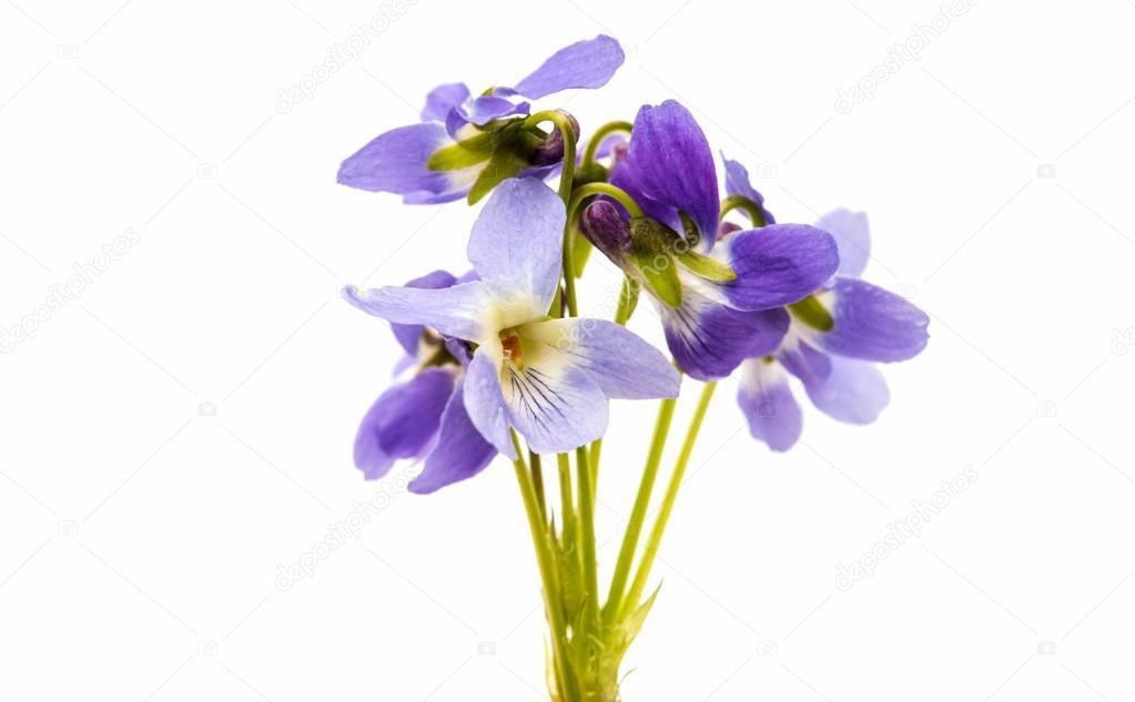 Botanique De La Fleur Violette Photographie Ksena32 C 105485810