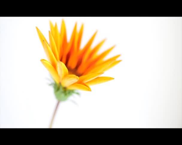 Gazánie květina otevření timelapse