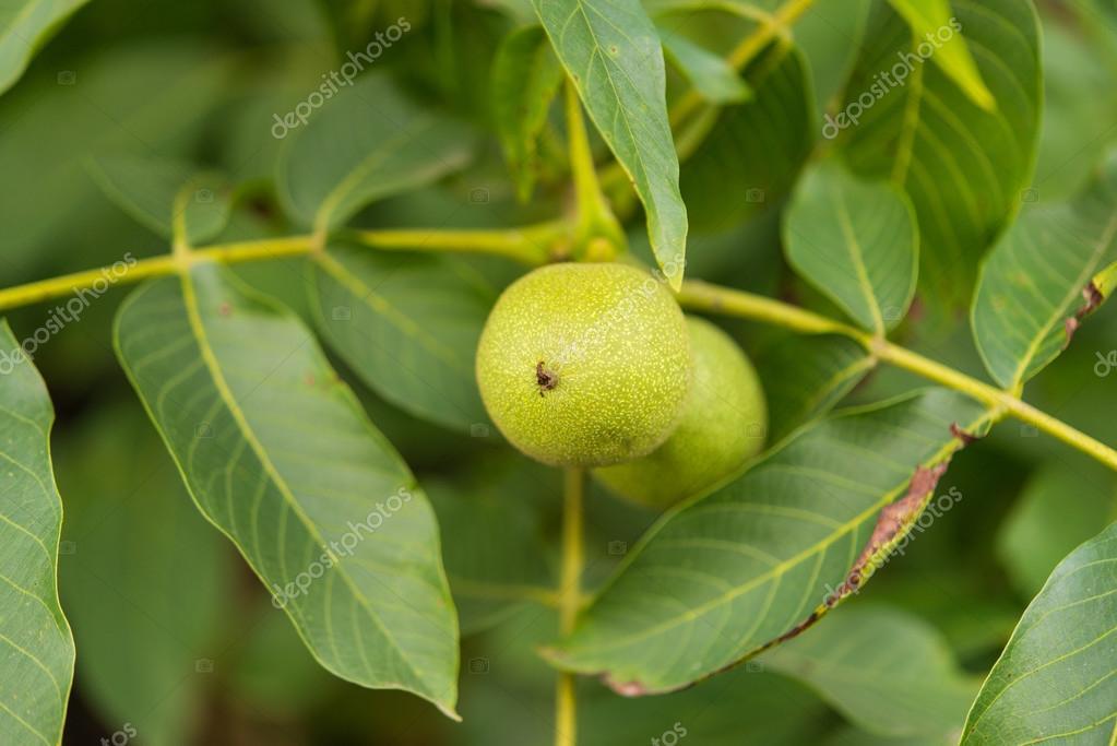 köpa gröna valnötter