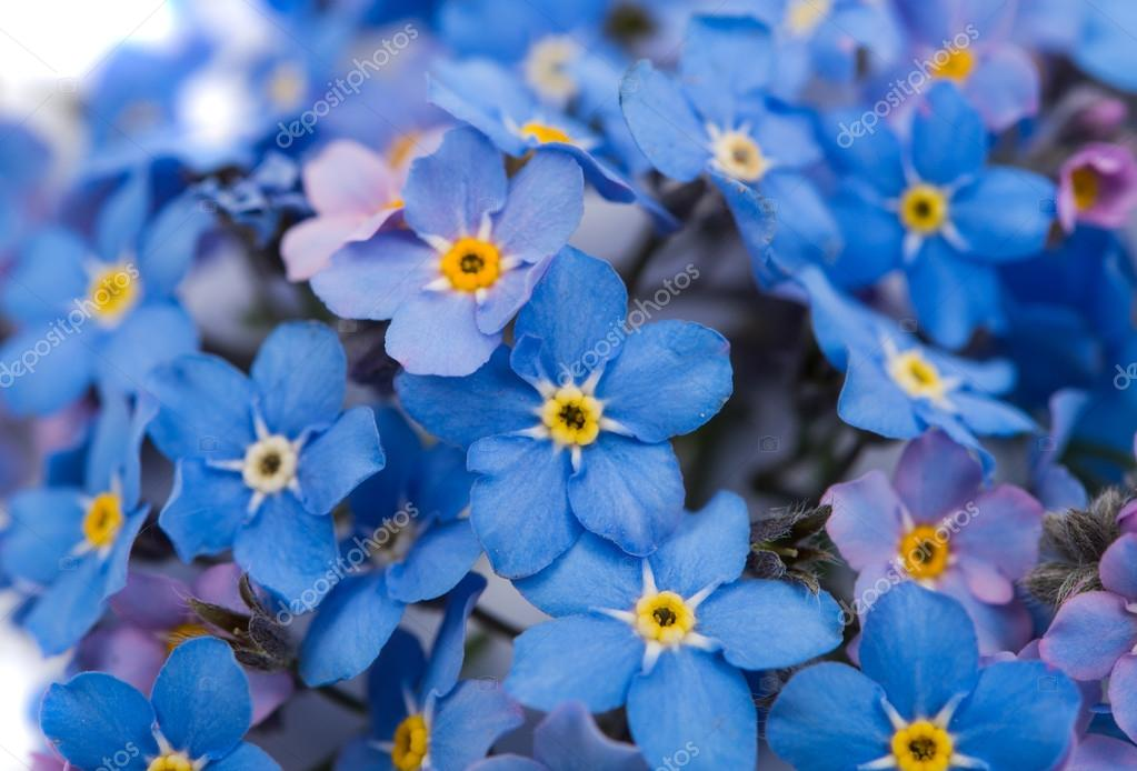forget-me not flowers