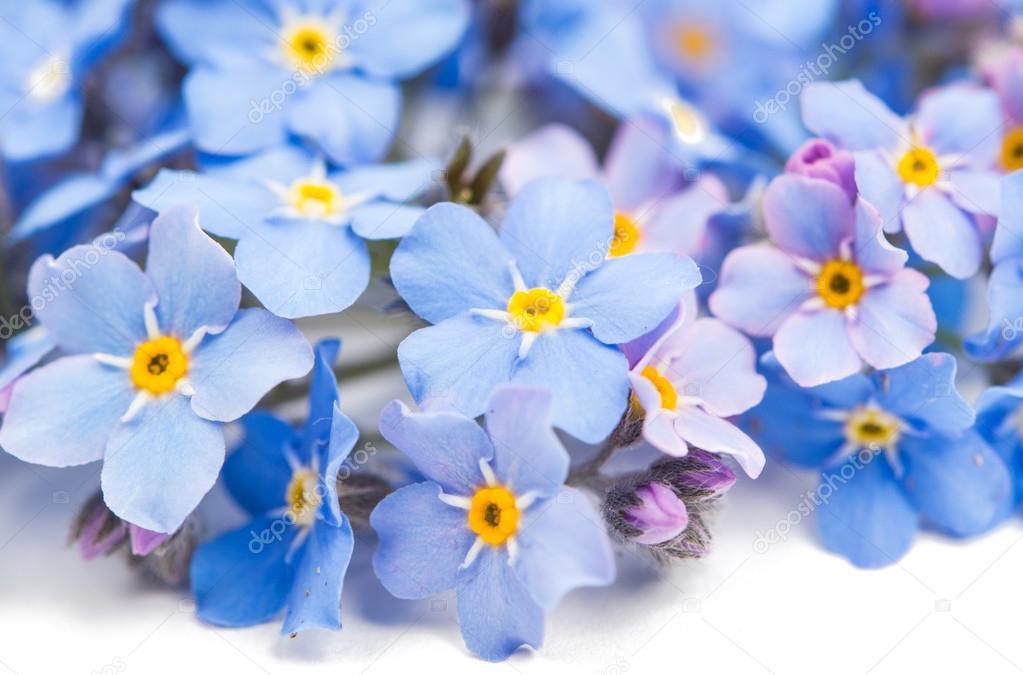 Mi Niezapominajki Kwiaty Zdjęcie Stockowe Ksena32 84411942