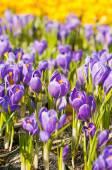 Photo Beautiful spring Crocuses