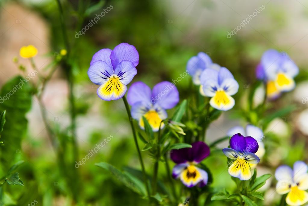 Виола и желтые цветы Триколор анютины глазки — Стоковое ...