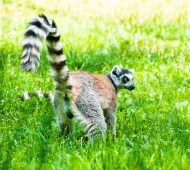 Lemur on grass