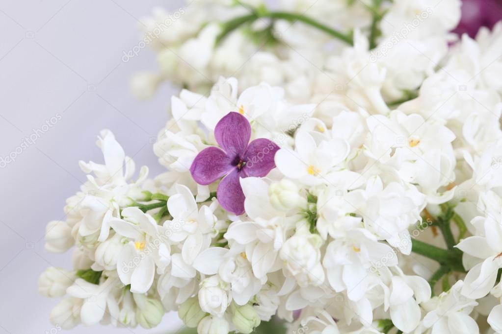Leylak stok foto pakhay 72955041 purple lilac flower among the branches of white lilac pakhay fotoraf mightylinksfo