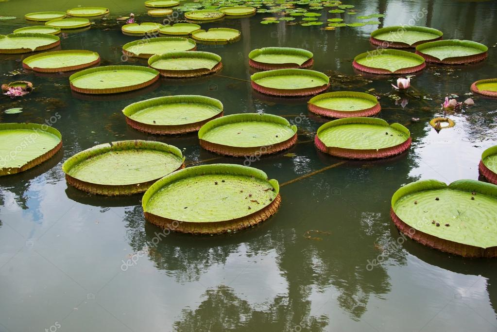 Large leaves of water lily