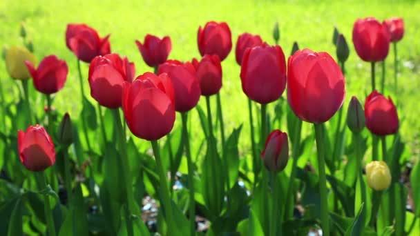 Virágágyásba nyári ég alatt, finom piros tulipán virágok felhasznállásával
