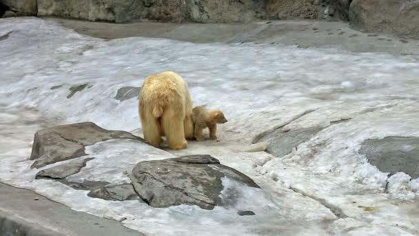 Lední medvěd a medvídě krmení