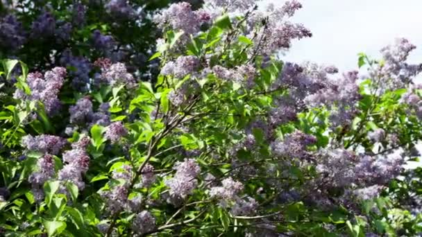 Spring garden with lilac shrub on wind