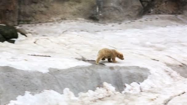 Lední medvěd mládě běh na matku medvěd