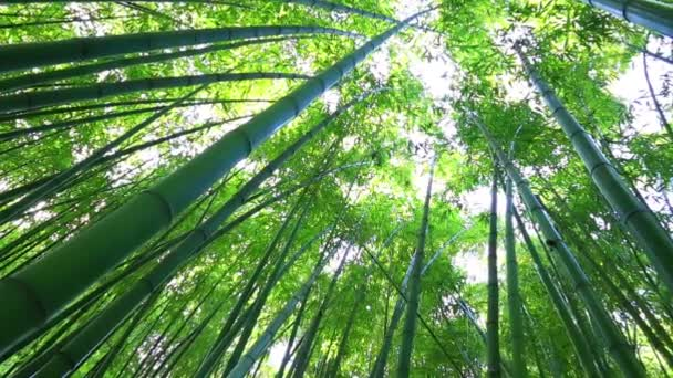trunks of bamboo stretch up high