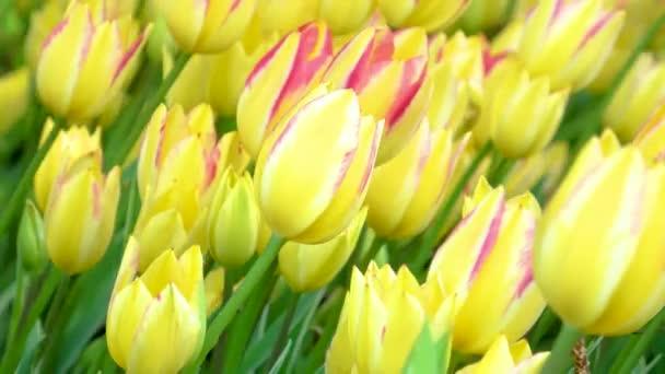 Mnoho žlutých tulipánů roste na záhonu v městském parku