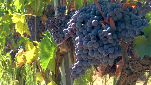 ITÁLIE, MONTALCINO - 20. září 2017: Zemědělci sklízejí hrozny venku na vinici