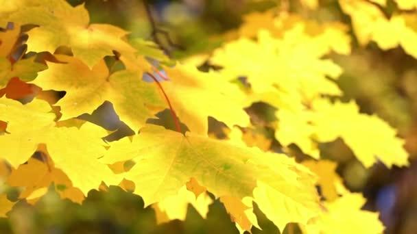 Podzimní listy z javoru větví
