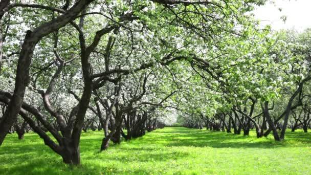Virágzó Alma fa kert