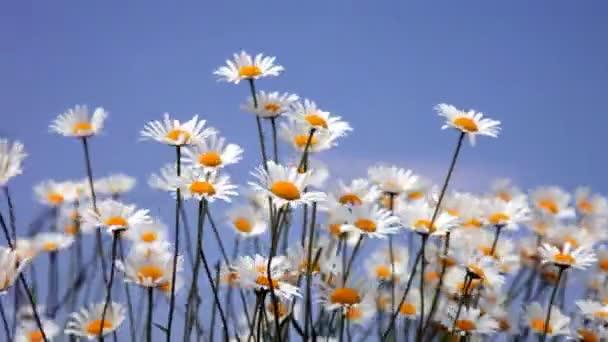 Kvetoucí camomiles pole
