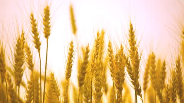 Mature ears of wheat