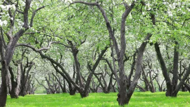 jabloň zahrada