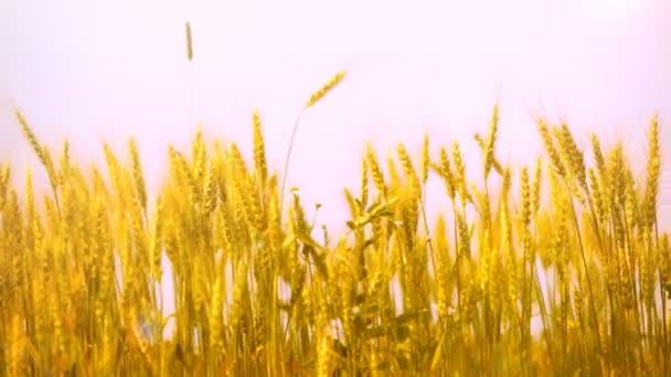 Zralé uši pšenice