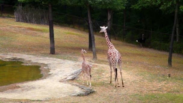 Žirafa s mladým dítětem